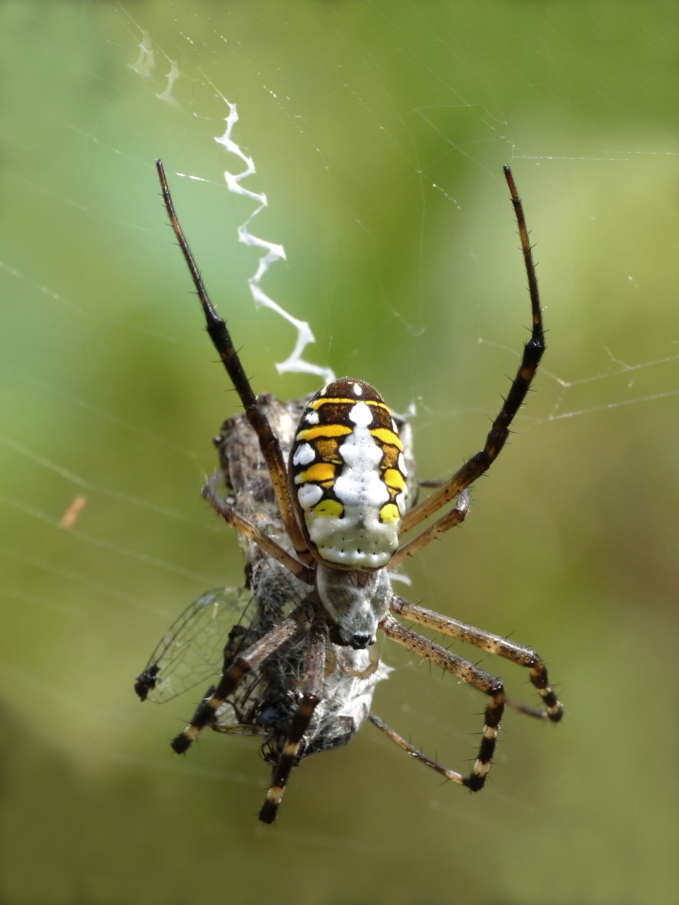 Spider Control Spotlight: The Orbweaver